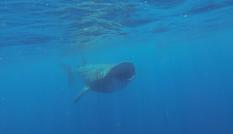 requin grande bouche